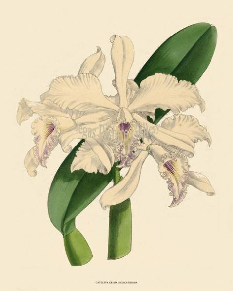 Fine art print of the Orchid Samuel Williams of the Cattleya Crispa Delicatissima by John Nugent Fitch